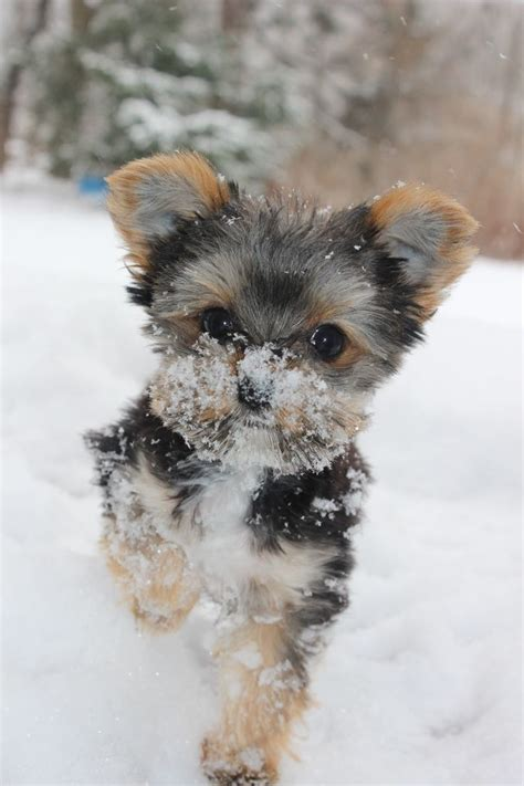 yorkies in the snow 12 reasons why you should never own terriers