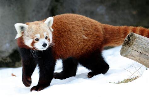 panda alimentazione il panda minore