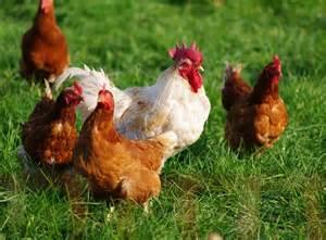 ce qu il faut sur les diff 233 rentes races des poules