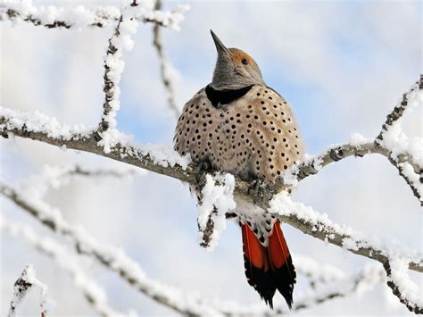northern flicker image canada national geographic