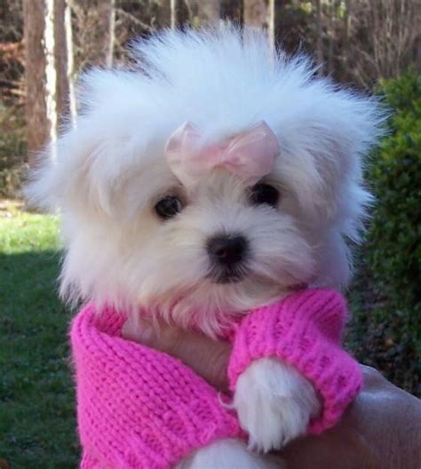 Maltese Puppies Puppy Dogs Teacup Maltese Puppies