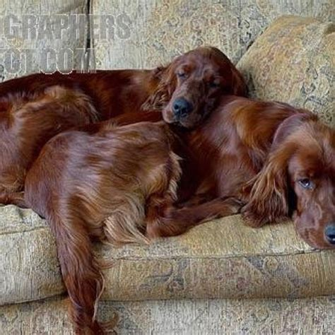 red setter dog puppy irish red setter puppies www imgkid com the image kid