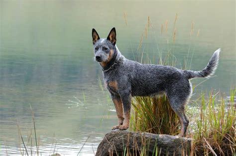 blue heeler pattern 402 best images about australian cattle dogs on pinterest
