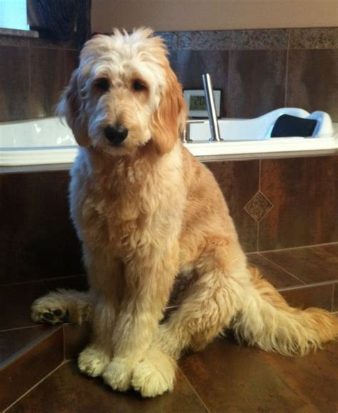 how to cut a goldendoodles hair day family doodles goldendoodle faq s photos dogs 2