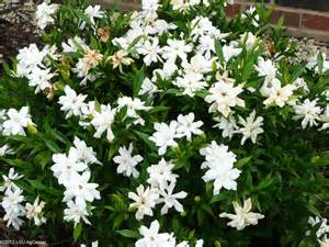 Gardenia Vine Fragrant Plants Louisiana Blooms