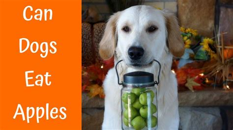 can dogs eat apple cores can dogs eat cherries everything a lover should us bones