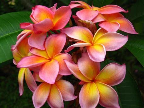 Lei Hawaiian Flowers - hawaiian lei traditions kauai kolea