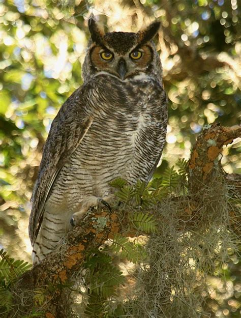 flying animal the great horned owl
