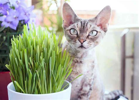 alimentazione naturale per gatti alimentazione naturale gatto erba gatta vantaggi e