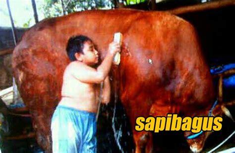 menumbuhkan kecintaan anak  ternak sapi sapibaguscom