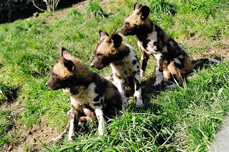 african painted wild dog  wild life