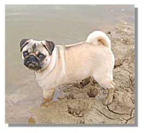 mud pug our pugs