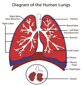 sections of the lungs lungs diagram lungs diagram gif projects to try