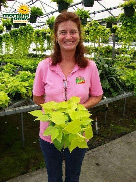 Tanaman Hias Philo Lemon Philodendron Lemon philodendron morning dew tropical plants