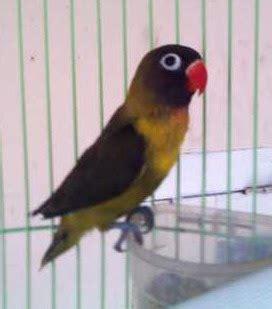 lovebird warna olive