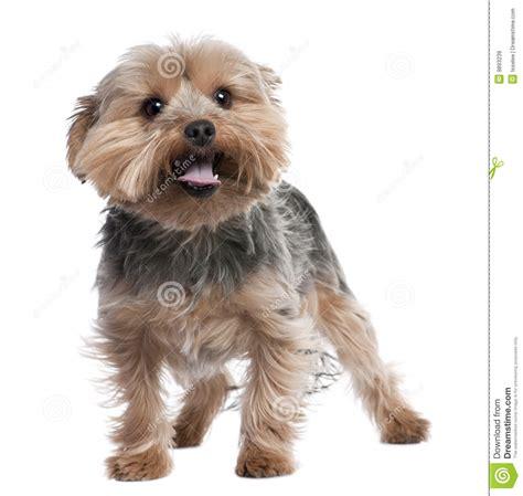 yorkie panting terrier panting 2 years royalty free stock images image 9893239