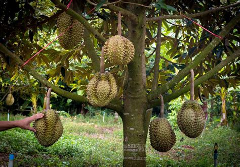 durian fruit tree durian the king of stink with photo indoneo