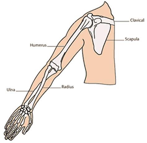 biceps diagram printable arm diagrams diagram site