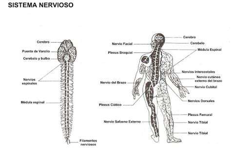 為孩子們的著色頁 nervous system in spanish free coloring pages