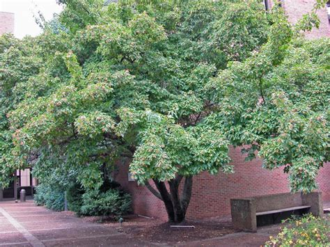 good shade trees for backyard 12 great patio trees hgtv