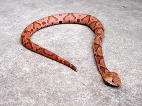 copperhead information for kids