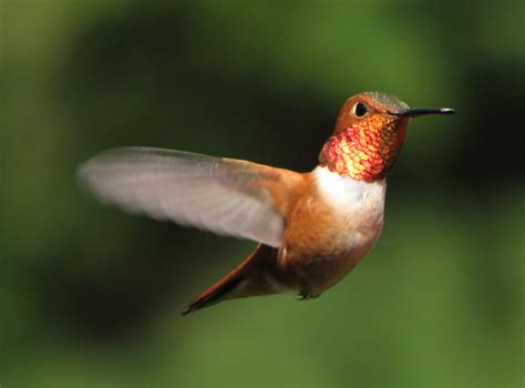 different types of hummingbirds hummingbirds plus