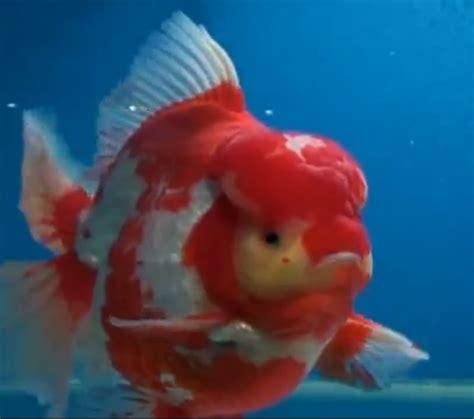Ikan Koki Maskoki Koki Rancu Ranchu ikan koki