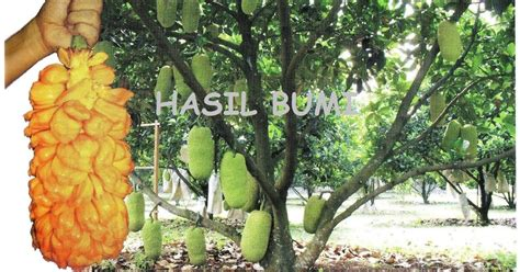 Jual Bibit Pohon Nangkadak the gallery for gt pohon durian merah