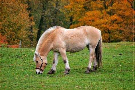 fjord adalah macam macam jenis kuda terbesar tercepat terlengkap di dunia