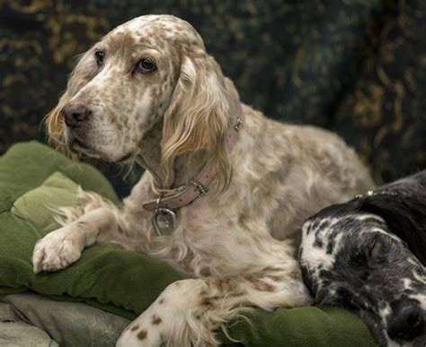 english setter dog pictures english setter dog breed information and pictures