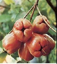 Jual Bibit Jambu Air Cincalo bibit buah jambu air eugenia aquea burm cv mutiaratani