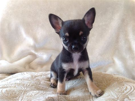 micro teacup yorkie puppies for sale uk teacup chihuahua puppies for sale micro teacup chihuahuas breeds picture