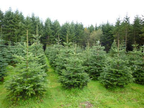 nordmann fir trees looking for a nordmann fir tree bowen tree farm
