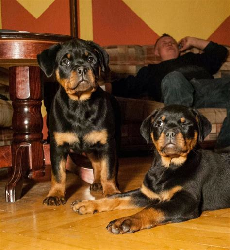 rottweiler puppies california rottweiler puppies for sale in california german rottweiler kennel