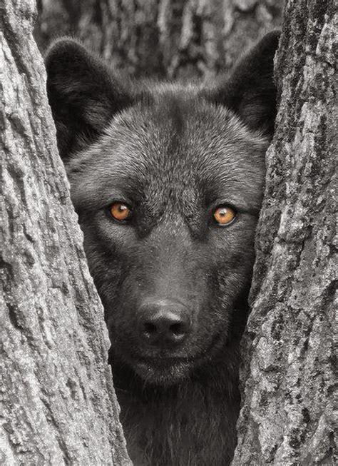 Lop Noir image gallery loup noir