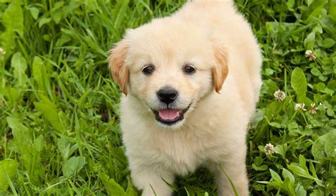 how to guide dogs how to sponsor a puppy to become a guide for the blind