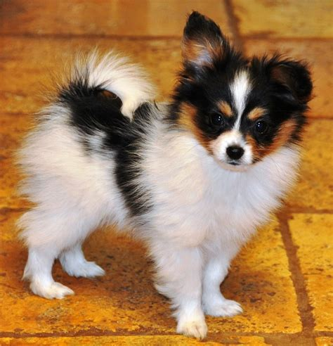 papillon puppies papillon puppies