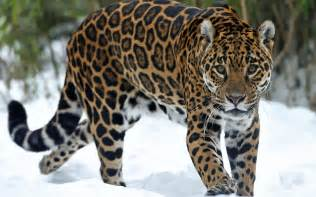 Jaguar Cat Jaguar Predator Snow Cat Wallpaper 1920x1200