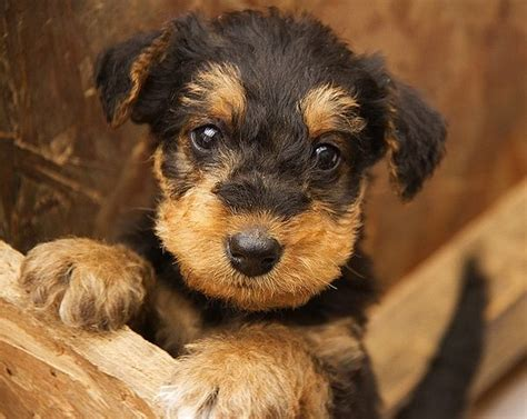 airedale puppies airedale terrier puppy airedale terrier