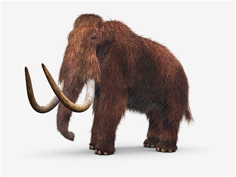 mammoth images woolly mammoth de extinction a possibility