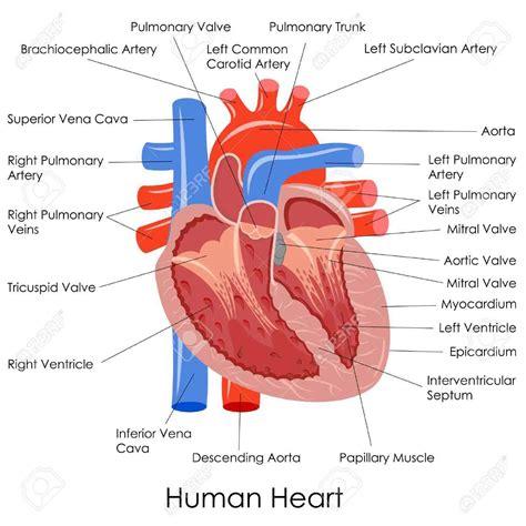 the heart and the human anatomy diagram vena cava diagram of the heart superiore arteria polmonare sinistro