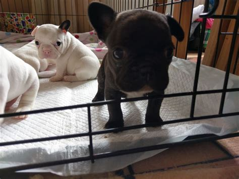 bulldog puppies for sale 600 all sold pedigree bulldog puppies for sale ammanford carmarthenshire