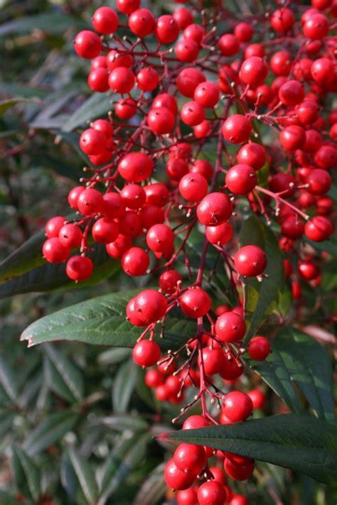 Arbuste A Baie by Arbuste 224 Baies Rouges Pour Apporter Une Touche De Couleur