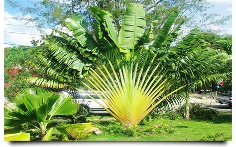 planting fan palm trees traveler palm cape coral