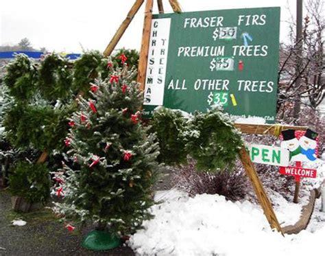 christmas tree lot business fraser fir balsam fir the only quot true quot trees abies fraseri abies balsamea