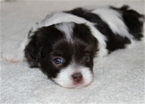 newborn havanese puppies havahug havanese puppies havahug havanese puppies of michigan