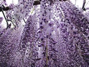 wisteria flower tunnel wisteria flower tunnel unknown world