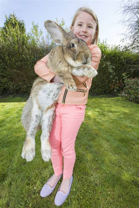 World's biggest bunny rabbit Darius, who weighs almost