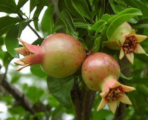 Obat Mata Kecil Warna Kuning tentang bunga dan manfaatnya serba ada