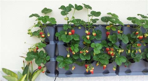 Can You Grow Strawberries?   Minigarden US